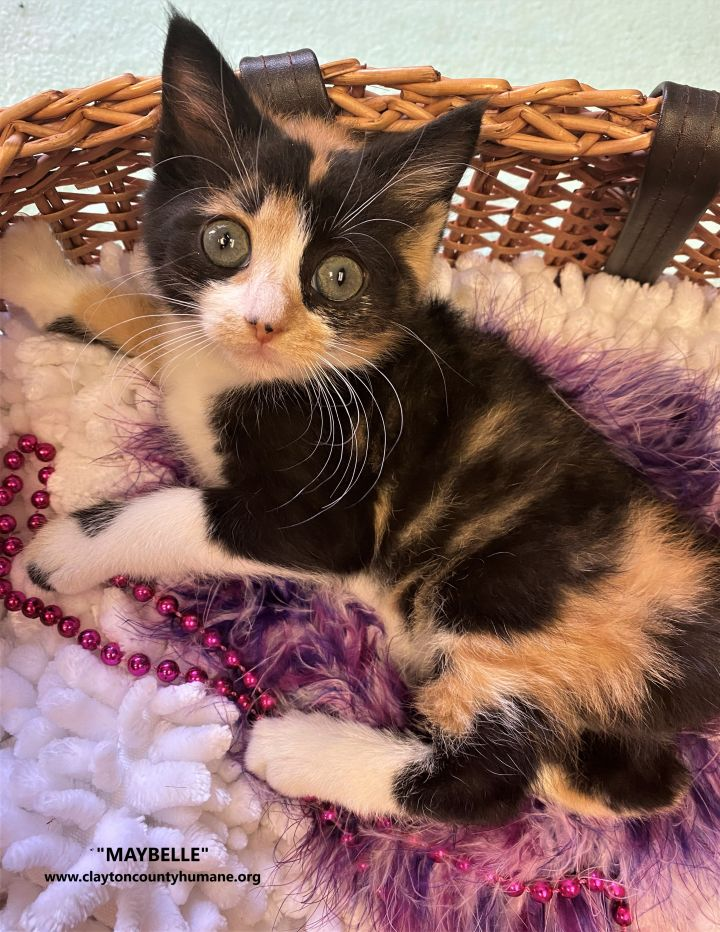 Maybelle, an adopted Calico & Domestic Long Hair Mix in Jonesboro, GA