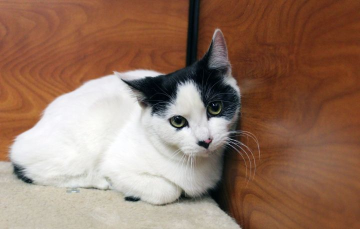 Cole, an adoptable Domestic Short Hair in Centerville, UT