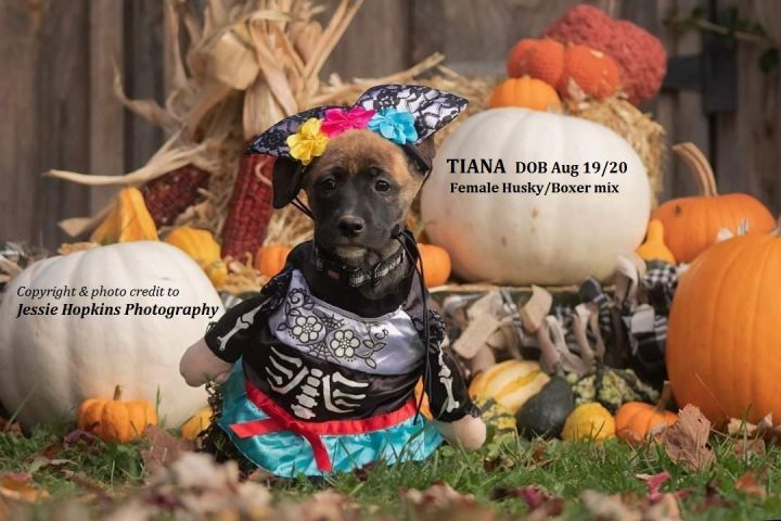 Tiana, an adopted Husky & Boxer Mix in ST JACOBS, ON