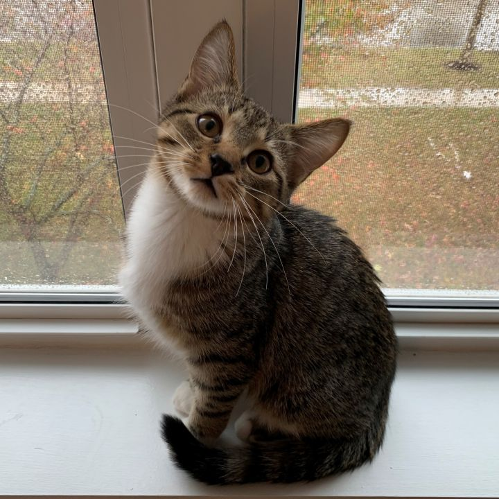 Stitch, an adoptable Domestic Short Hair in Naperville, IL