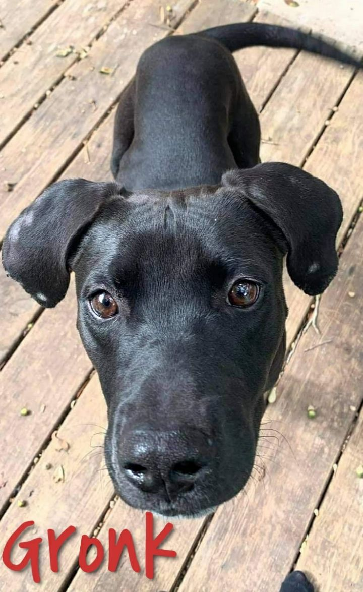 Gronk, an adopted Great Dane Mix in Cantonment, FL