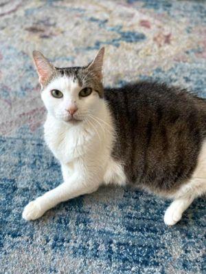 Rosie Domestic Short Hair Cat