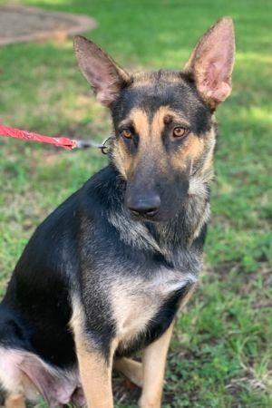 Moana is a 2-year-old German Shepherd female She is vaccinated and microchip and spayed She is goo