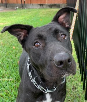 Ebony is a3-year-old German Shepherd lab mix female She is vaccinated and microchipped and spayed