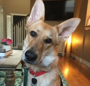 Bowie is a 12 mos old German Shepherd male He is vaccinated and microchipped and neutered He is go