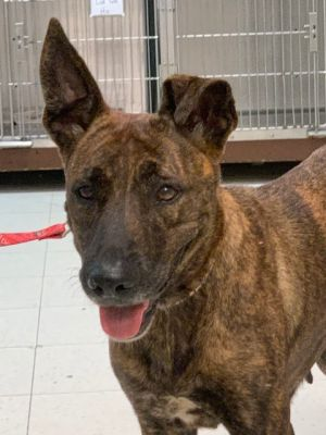 Bindi Young Dutch shepherd female adult She is fully vaccinated and microchipped and spayed She is
