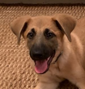 Nemo is a 18-20 week of german shepherd dog She has had all puppy vaccinations spay and microchip