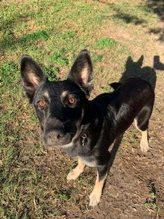 Penny Penny is a young adult German shepherd female dog She is fully vaccinated and microchipped an