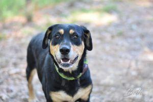 Beth Labrador Retriever Dog