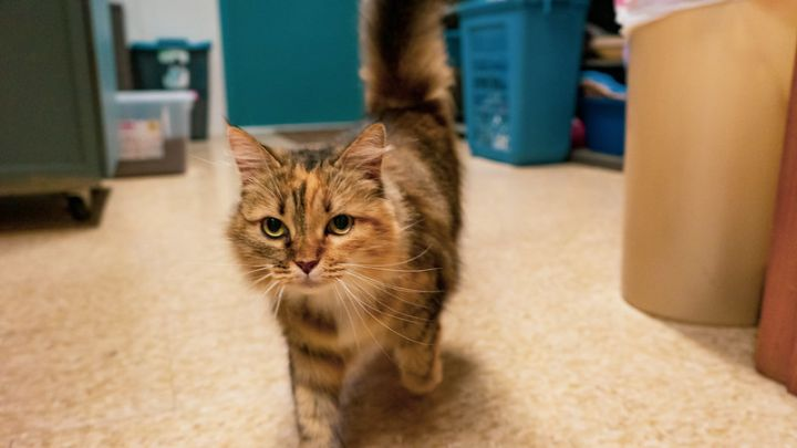 Little Miss, an adopted Domestic Long Hair in Eglin AFB, FL