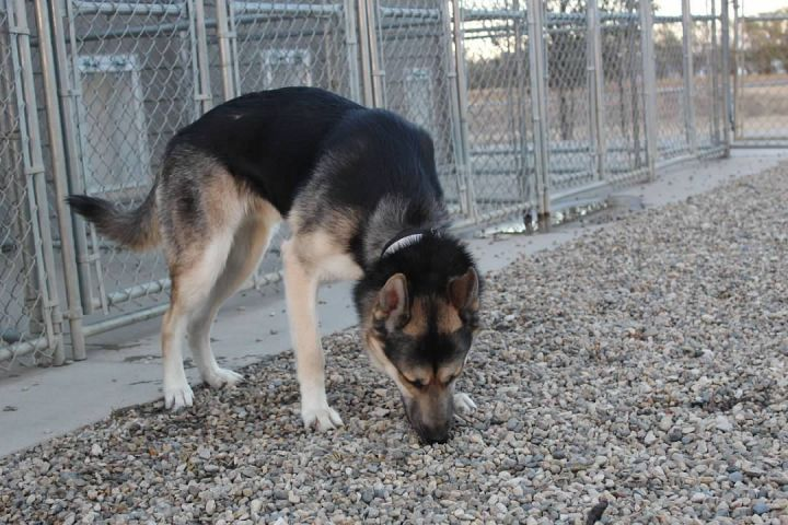 Hans Solo, an adopted German Shepherd Dog & Siberian Husky Mix in Pierre, SD