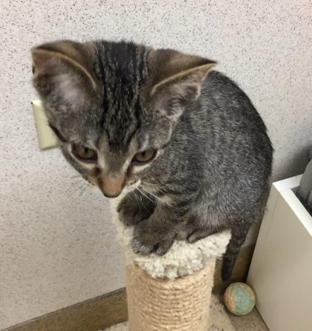 DHL, an adoptable Domestic Short Hair in Naperville, IL