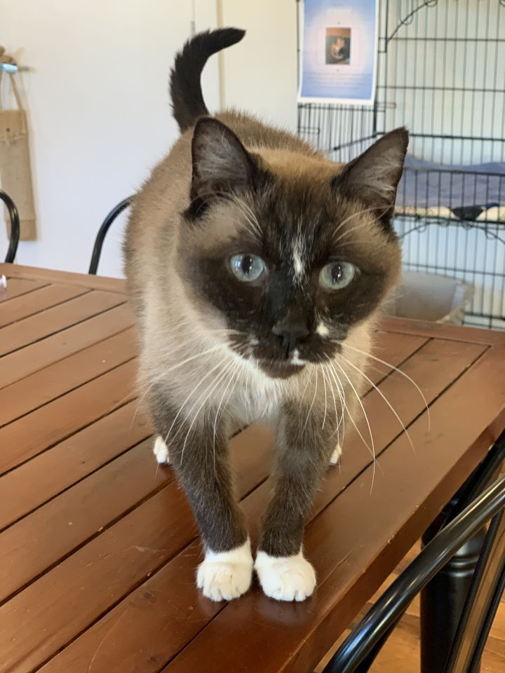 Boots, an adopted Domestic Medium Hair & Siamese Mix in Jackson, WY