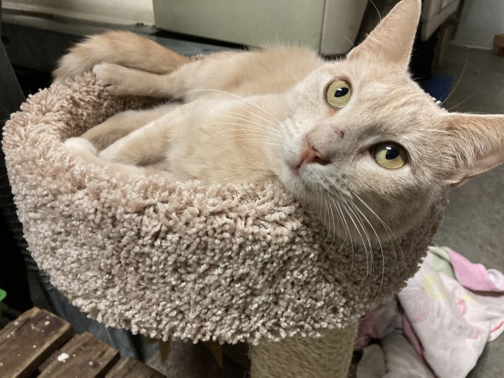 Poof, an adoptable Domestic Short Hair in Jackson, WY