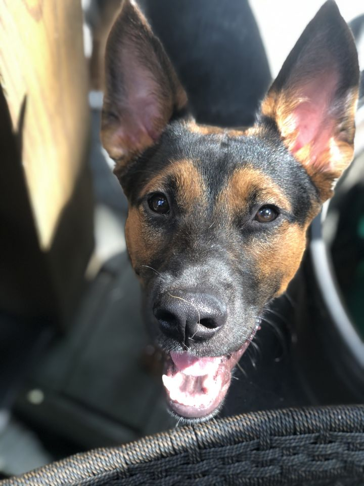 Dipper, an adoptable Shepherd Mix in Hainesville, IL