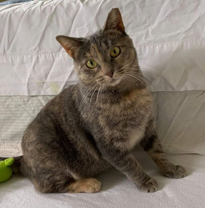 Maizey, an adoptable Domestic Short Hair in Sewell, NJ