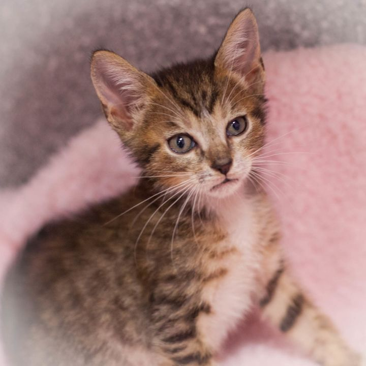 Othello, an adopted Domestic Short Hair Mix in Ponte Vedra, FL_image-1