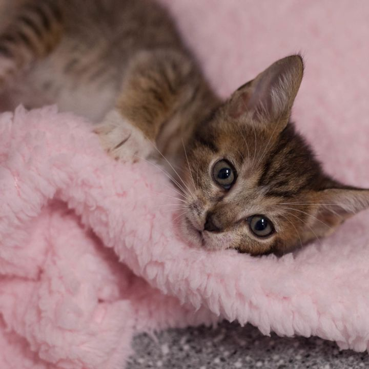 Othello, an adopted Domestic Short Hair Mix in Ponte Vedra, FL_image-3
