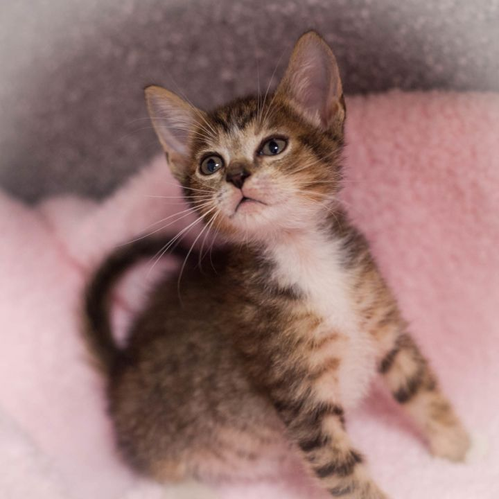Othello, an adopted Domestic Short Hair Mix in Ponte Vedra, FL_image-5