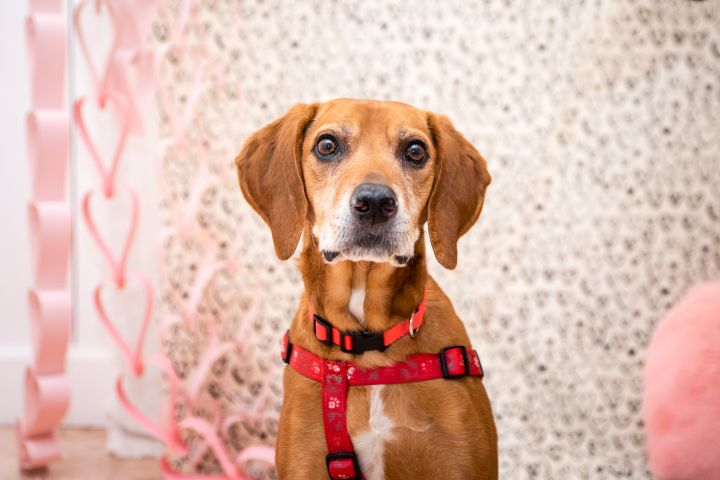 Huck, an adoptable Beagle & Hound Mix in Minneapolis, MN