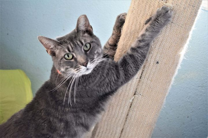 Sammy, an adoptable Domestic Short Hair in Medford, NY_image-1