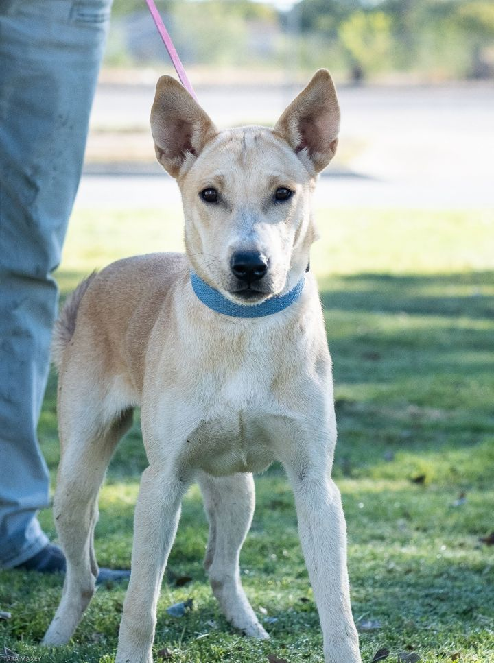 Luz, an adopted Smooth Collie Mix in Uvalde, TX