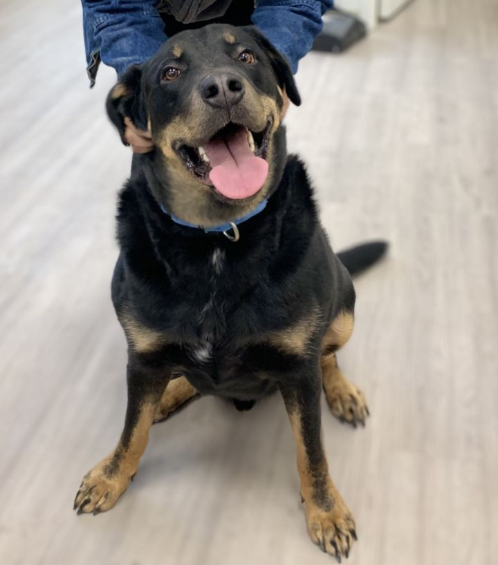 Jax, an adopted Rottweiler Mix in New Rochelle, NY