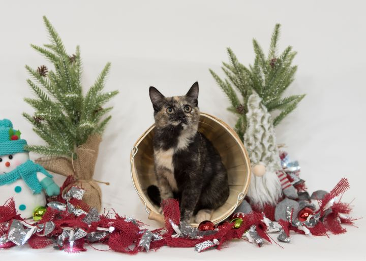 Pancake, an adoptable Domestic Short Hair Mix in Springfield, MO