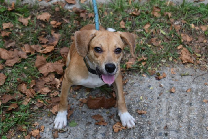 Gigi, an adopted Beagle Mix in Milledgeville, GA