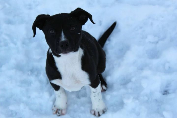 Katie, an adopted Labrador Retriever Mix in Pierre, SD