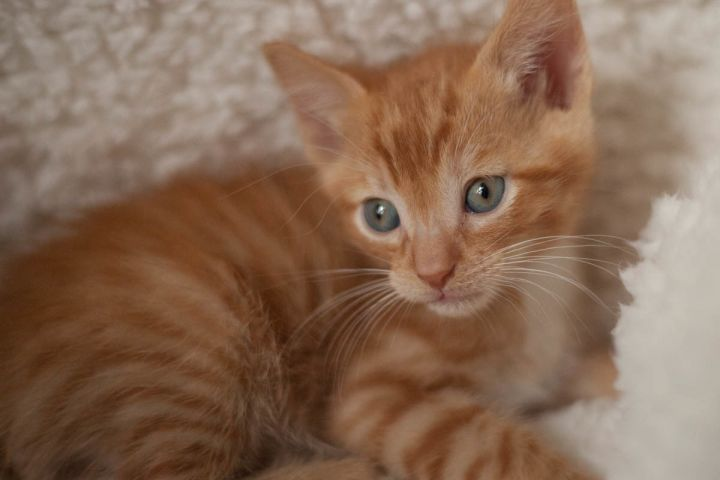 Sheldon, an adopted Domestic Short Hair in Ponte Vedra, FL_image-4