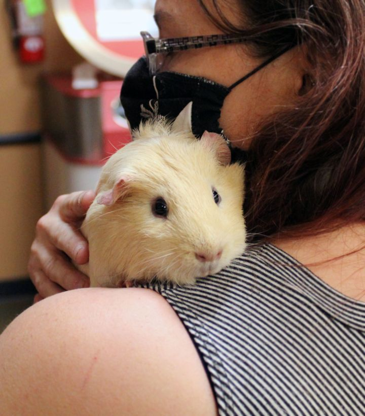 May, an adopted Guinea Pig in Centerville, UT