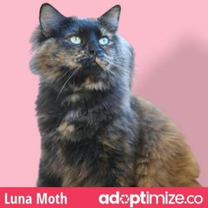 Luna Moth is a stunning longer haired Tortie She has striking features and youll notice her right