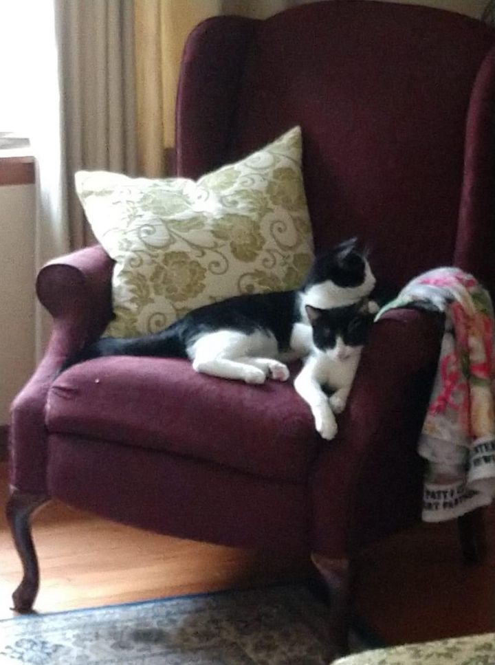 Bo, an adoptable Domestic Short Hair & Tuxedo Mix in Manhattan, KS