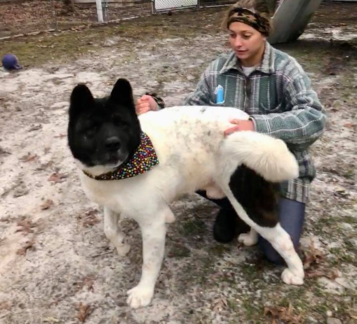 Spartacus, an adoptable Akita in Toms River, NJ