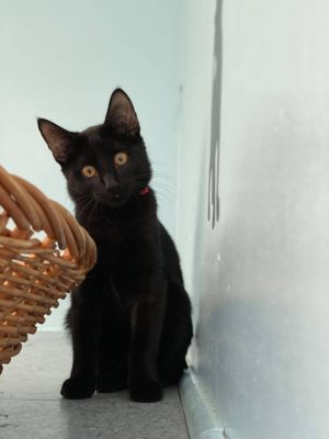 This adorable kitten is Salem He is a quiet boy and very curious indeed He likes wand toys and pla