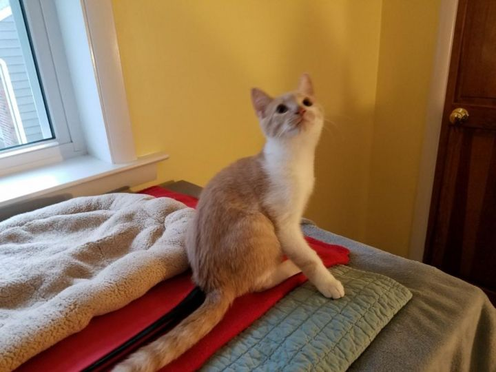 Mingo, an adopted Domestic Short Hair in Warminster, PA