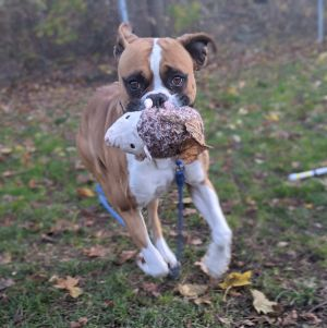 This stunning guy is King He is a 3-year-old boxer and weighs 69 lbs King is very friendly and has