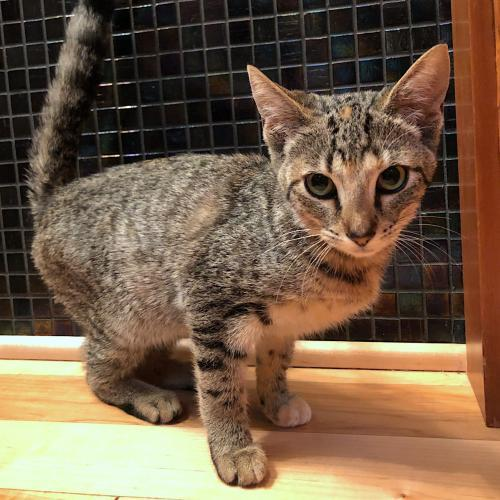 Muffin, an adoptable Tabby & Domestic Short Hair Mix in Springfield, OR