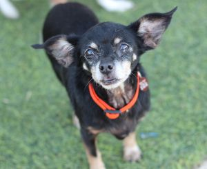 Brandi Chihuahua Dog