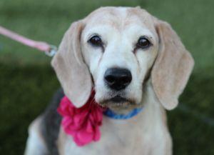 Pebbles Beagle Dog