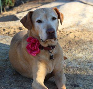 Cherry Labrador Retriever Dog