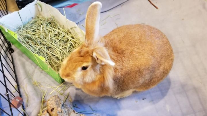 Ginger, an adopted Flemish Giant & Lionhead Mix in Bellingham, WA