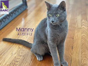 Manny is a precious blue cat who will nap for long stretches and then ask for pets and playtime when