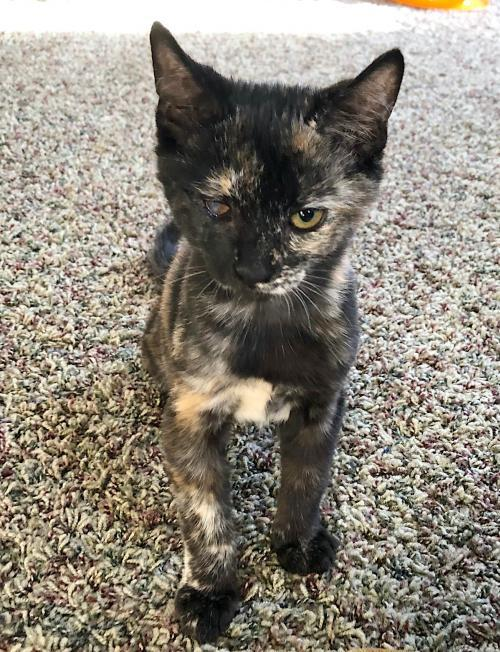 Sconset, an adoptable Tortoiseshell & Domestic Short Hair Mix in Springfield, OR