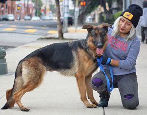Daphne von Damme is a delightful 1-2 year old German Shepherd She is a tall and graceful beauty He