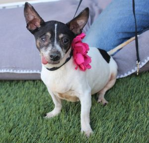 REALLY cute full bred Rat Terrier who was most likely used to breed And then du
