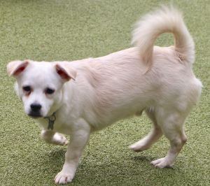 This sweet little chihuahua terrier mix puppy is approx 8 months old and 15 lbs as of 10-20 he sho