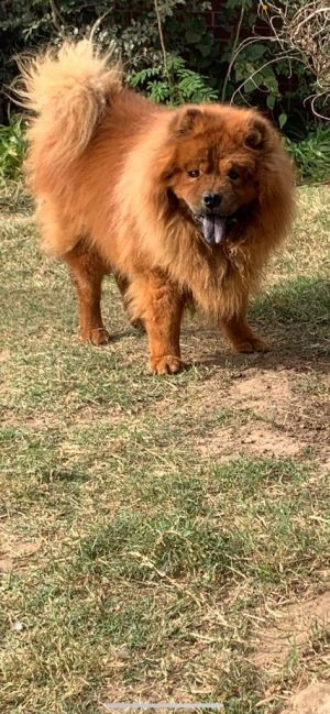 Simba is 7 years old and came in with Nala to a shelter in Oklahoma Simba was very shut down