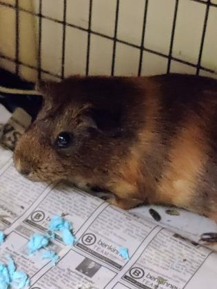 Pansy, an adopted Guinea Pig Mix in Bellingham, WA